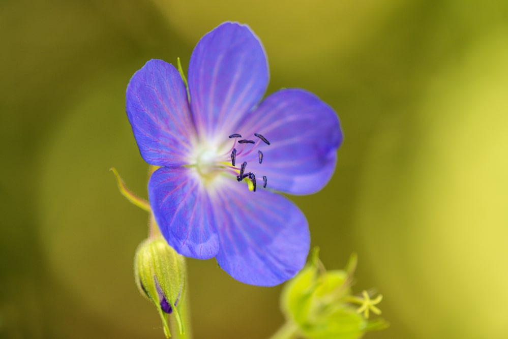 meadow cranessbill